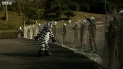 Thumbnail of 'Zebra' escapes a zoo in Japan