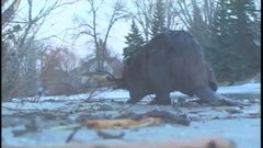 """Thumbnail of """"The most amazing beaver experience of my life"""""""