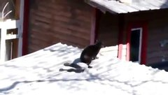 Thumbnail of A crow refereeing a catfight