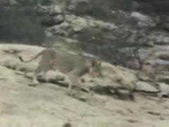 Thumbnail of Christian the Lion