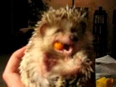Thumbnail of Hedgehog making funny faces