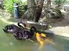 Thumbnail of 2 Black Swan feed Koi fish