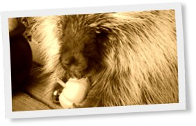 Thumbnail of Never knew how cute porcupines sound!