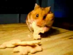 Thumbnail of Hungry hamster