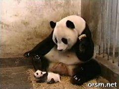 Thumbnail of Panda Sneezing
