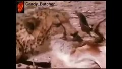 Thumbnail of Prey robbery  from cheetah