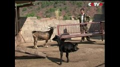 Thumbnail of Stay Strong: Two-legged Lamb in Southwest China Astounds Residents
