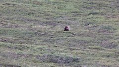 Thumbnail of Grizzly Bear rolling down a hill