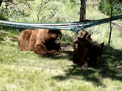 Thumbnail of 3 little bears and momma play on hammock