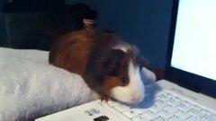 Thumbnail of Guinea pig Noises!