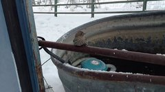 Thumbnail of Sparrow Frozen to Fence Rescue