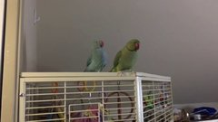 Thumbnail of Two Parakeet brothers engage in full length conversation