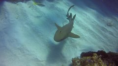 Thumbnail of Scuba instructor pulls kitchen knife out of shark's head in Cayman