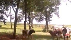 Thumbnail of COW VS SHEEP