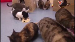 Thumbnail of Animal shelter with around 50 cats gets pet food and they all come to eat it