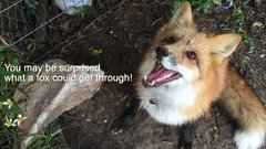Thumbnail of What its like to have a pet fox
