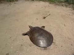 Thumbnail of Fastest Turtle In The World!