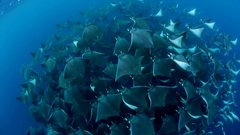 Thumbnail of Mobula Rays belly flop to attract a mate - Shark: Episode 2 Preview - BBC One