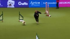 Thumbnail of Hilarious Jack Russell Goes Crazy with Excitement at Crufts 2017!