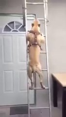 Thumbnail of Dog climbs ladder