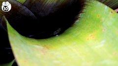 Thumbnail of 10 Most Amazing Carnivorous Plants