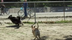 Thumbnail of Squirrel plays with dogs