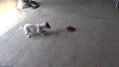 Thumbnail of Puppy overcomes arachnophobia with giant robot spider