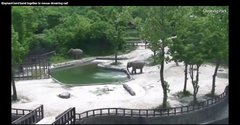 Thumbnail of Two Adult Elephants Work Together To Save Young Calf From Drowning
