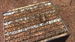 Thumbnail of How bees behave when they don't accept the new queen bee