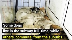 Thumbnail of Moscow's Stray Subway Riding Dogs