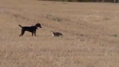Thumbnail of Fox playing with dog