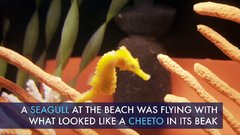 Thumbnail of Cheeto the Lucky Seahorse - Rescue, Rehab and Release  (yes seahorse - singular)