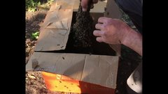 Thumbnail of Unboxing a swarm of african killer bees