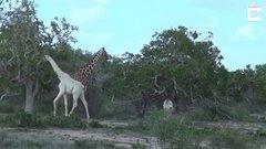 Thumbnail of Rare White Giraffe Discovered