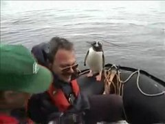 Thumbnail of Pinguin outsmarts orcas