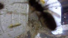 Thumbnail of Massive Hornet Nest Removal