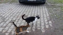 Thumbnail of Male cat rejects female cat in heat ( Opposite World )