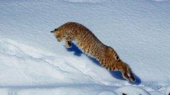 Thumbnail of Bobcat | Planet Earth II
