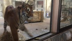 Thumbnail of Tiger Wants a Toy