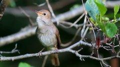 Thumbnail of nightingale