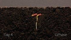 Thumbnail of Bean Time-Lapse - 25 days | Soil cross section