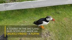 Thumbnail of Curious Puffin Befriends a Tourist | National Geographic