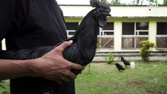 Thumbnail of This Chicken is Entirely Black, From Beak to Bone