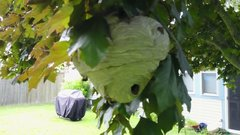 Thumbnail of Drone Cuts Hornet Nest In Half