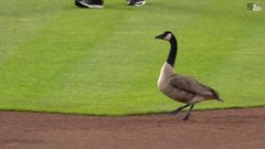 Thumbnail of Goose flies into scoreboard at Comerica Park
