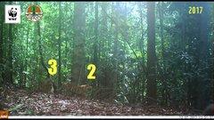 Thumbnail of Rare Footage of Sumatran Tiger Family