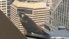 Thumbnail of Falcon Outside My Window 53 Stories high