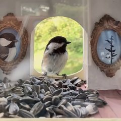 Thumbnail of Chickadee returns home for lunch