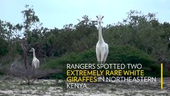 Thumbnail of Pair of Rare White Giraffes | Nat Geo Wild