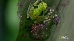Thumbnail of The Glass Frog: Ultimate Ninja Dad | Animal 24